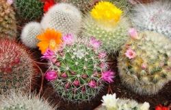 cactus_fleurs2