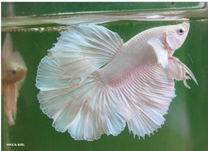 Le betta splendens inspirations desjardins for Nourriture poisson rouge et combattant