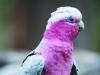 A perched galah