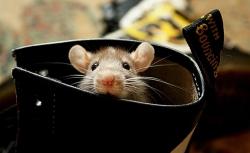 free-wallpaper-rat
