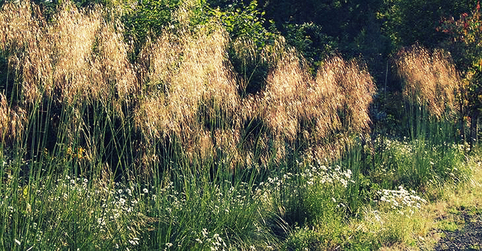photo-12-stipa-gigantea
