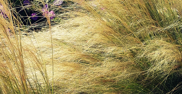 photo-13-stipa-tenuifolia