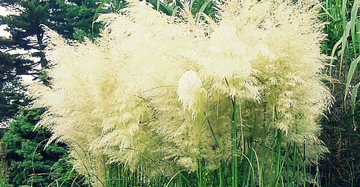photo-21-cortaderia-selloana