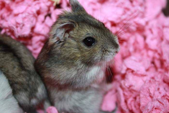 hamster-russe-2