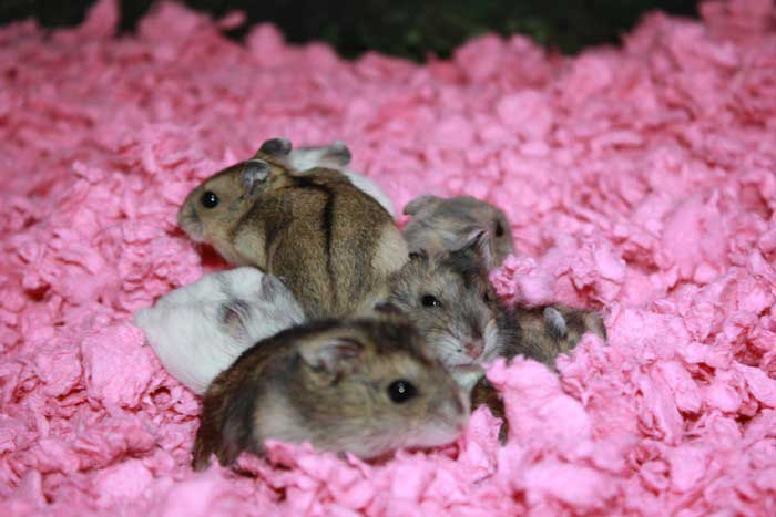 hamster-russe