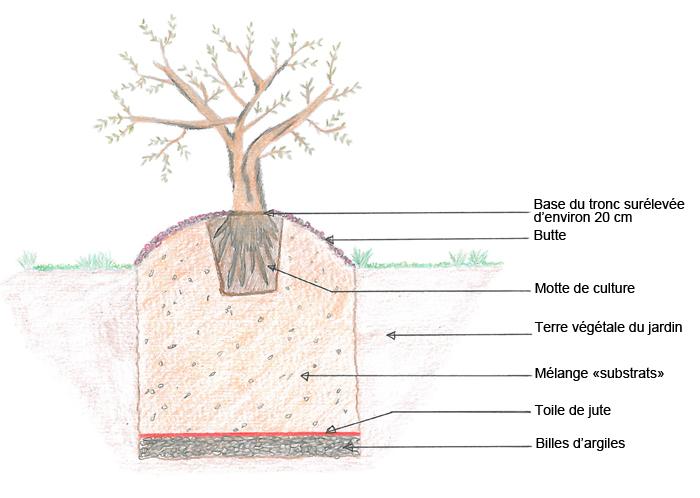 comment planter un olivier en pleine terre