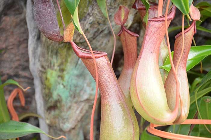 plante carnivore trompette