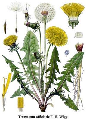 pissenlit-botanique