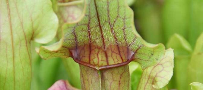 plante carnivore espece