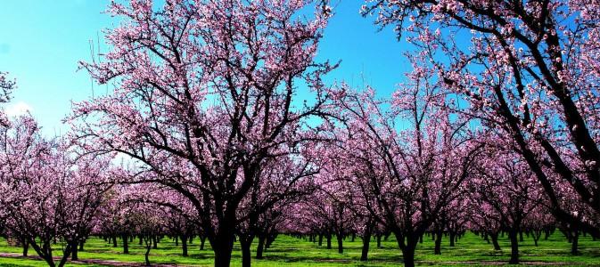 La taille d 39 habillage et de formation des arbres fruitiers - Taille arbre fruitier ...