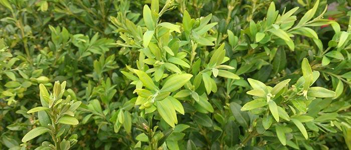 Buxus-sempervirens