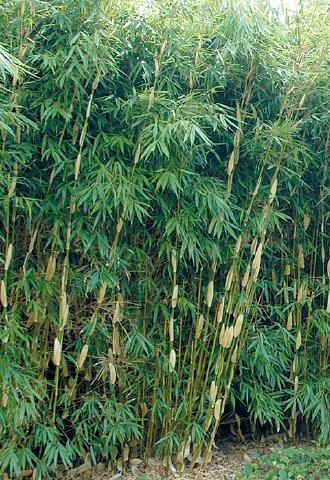 Fargesia robusta 'Pingwhu'