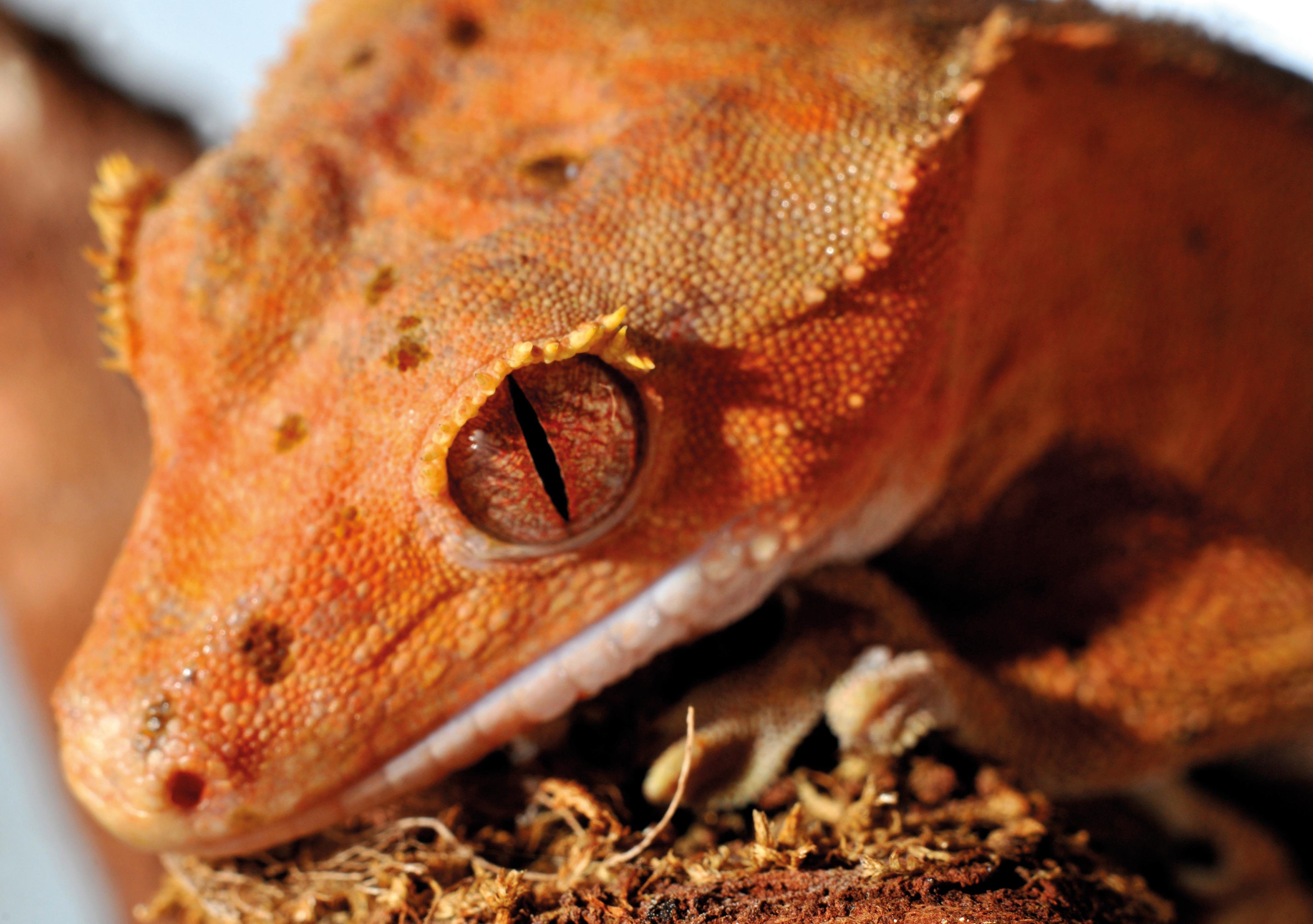 Gecko_HD5