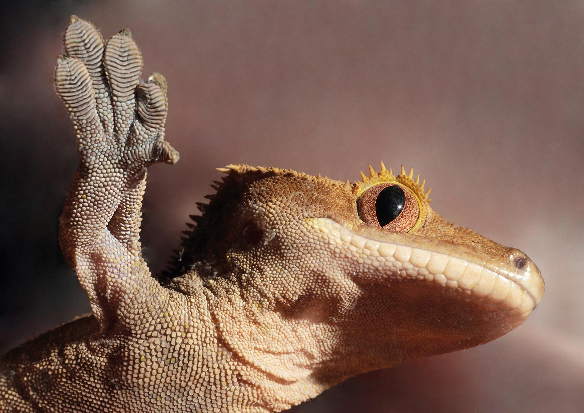 Gecko_HD6