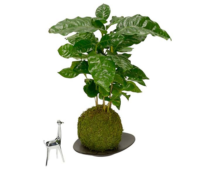 KOKEDAMA-situation