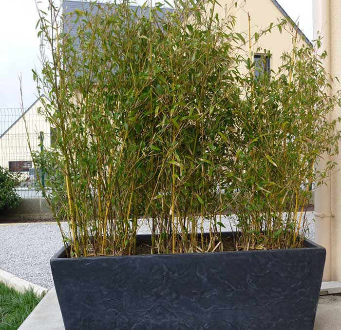 Photo 11 phyllostachys spectabilis inspirations desjardins for Phyllostachys aurea en pot