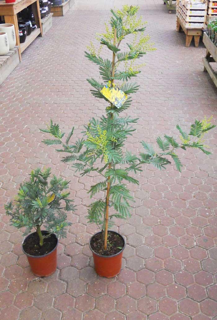 planter un mimosa en pot