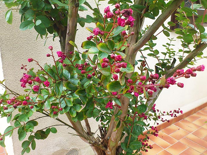 Le lilas des indes inspirations desjardins - Arbre lilas des indes ...