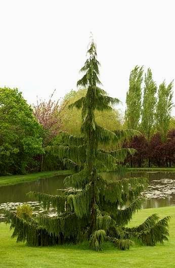 arbres fastigies ou colonnaires