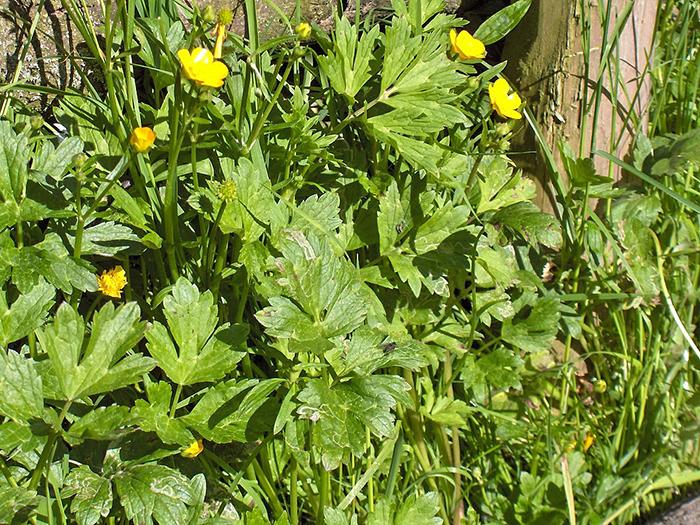 Les adventices les plus courantes inspirations desjardins - Mauvaise herbe fleur jaune ...