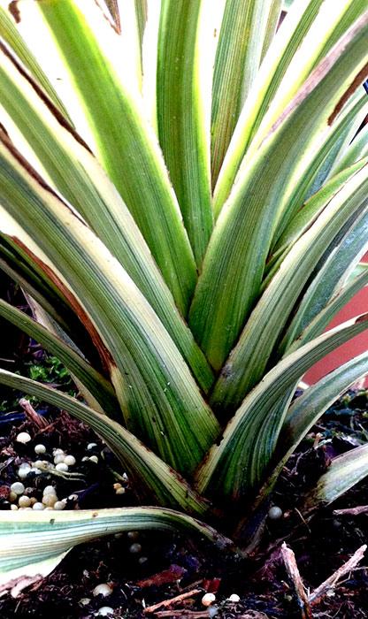 Les phormiums inspirations desjardins - Fushia plante entretien ...
