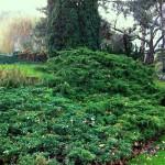 Les conifères-Juniperus