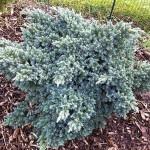 Les conifères-juniperus squamanta 'blue star'