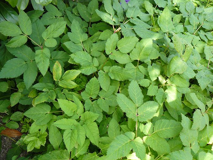 Les adventices les plus courantes inspirations desjardins - Comment trouver le nom d une plante ...