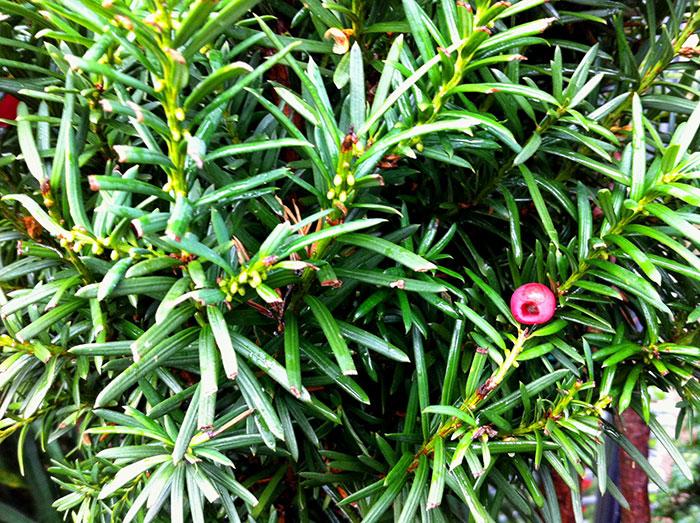 Arbuste boule rouge boule de neige with arbuste boule rouge laurier cerise with arbuste boule - Arbuste a boule rouge ...