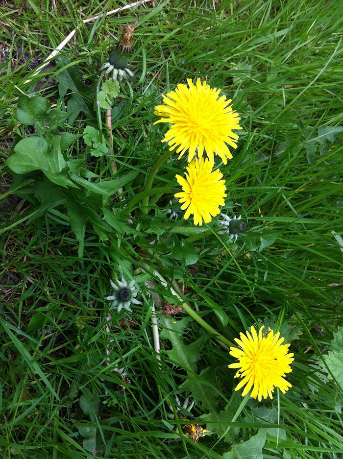 Mauvaise herbe fleur jaune - Mauvaise herbe fleur jaune ...