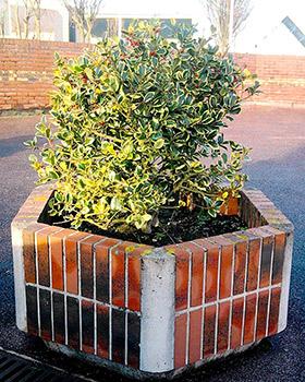 planter un houx en pot