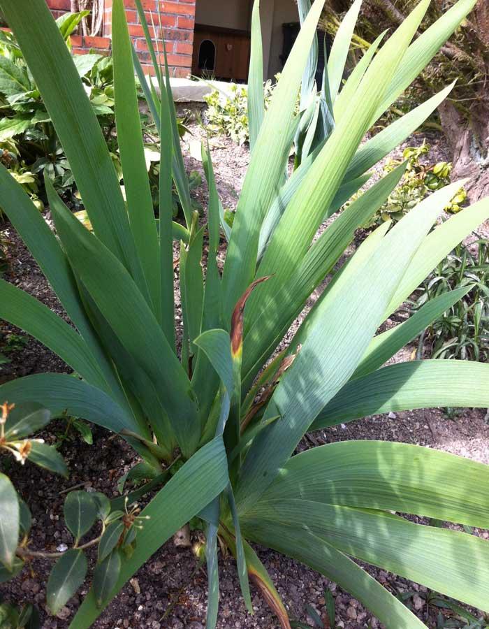 les-iris-barbus-2