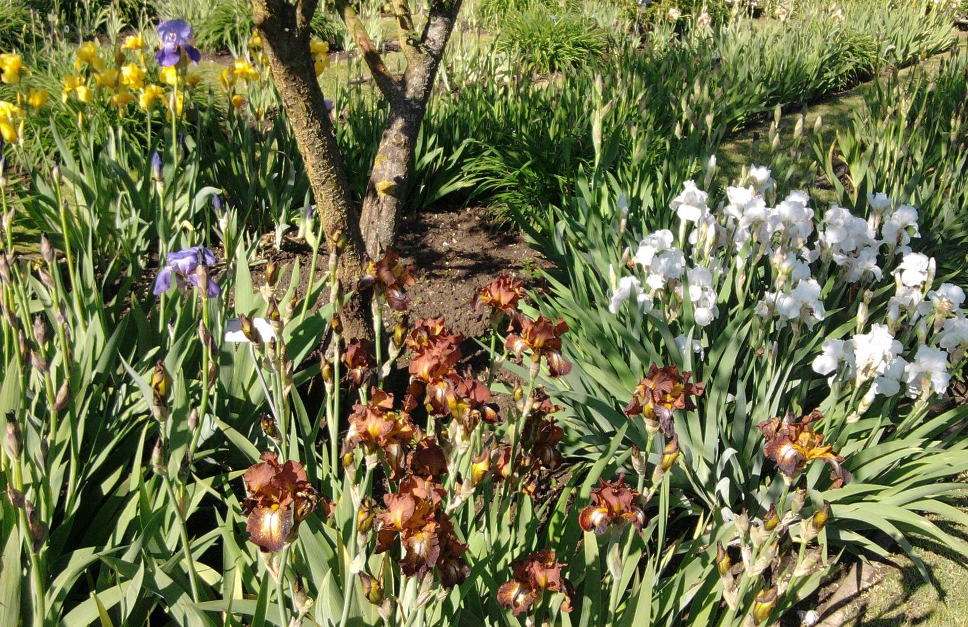les-iris-barbus-7