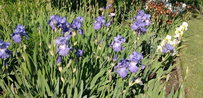 les-iris-barbus-8