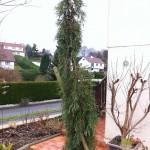 Les conifères-sequoiadendron gigantum pendulum