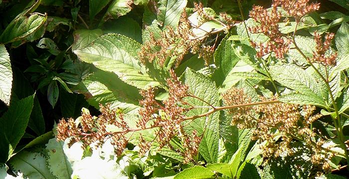 Les plus belles plantes vivaces gros feuillage for Grandes plantes vertes originales