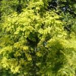 Les conifères-metasequoia glyptostroboides