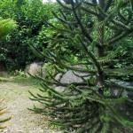 Les conifères-Araucaria