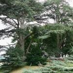 Les conifères-plantation-isolé