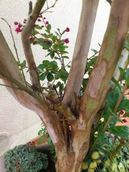 Le lilas des indes inspirations desjardins - Lilas des indes racines ...