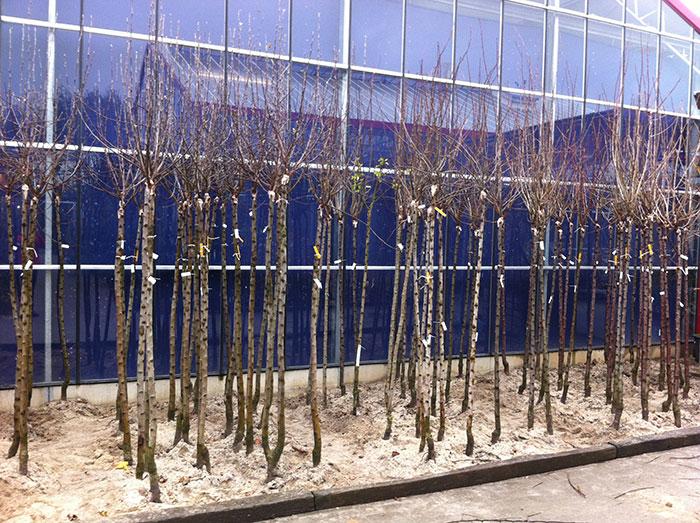 La plantation en racines nues inspirations desjardins - Arbre sans racine envahissante ...