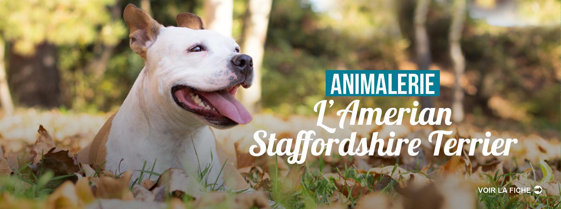 SLIDE-american-staff-terrier