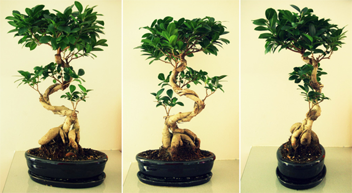 Les bonsa inspirations desjardins - Comment faire un bonsai ...