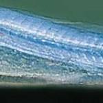 bébé chromobotia macracantha