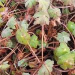 Description des géraniums vivaces