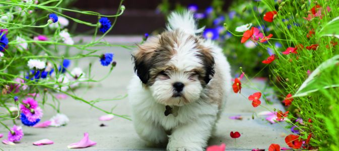 Cute lhasa apso puppy amongst poppies and cornflowers  [url=file_closeup.php?id=8126038][img]file_thumbview_approve.php?size=1&id=8126038[/img][/url] [url=file_closeup.php?id=7175589][img]file_thumbview_approve.php?size=1&id=7175589[/img][/url] [url=file_closeup.php?id=6891433][img]file_thumbview_approve.php?size=1&id=6891433[/img][/url] [url=file_closeup.php?id=8168881][img]file_thumbview_approve.php?size=1&id=8168881[/img][/url] [url=file_closeup.php?id=8767941][img]file_thumbview_approve.php?size=1&id=8767941[/img][/url] [url=file_closeup.php?id=8289225][img]file_thumbview_approve.php?size=1&id=8289225[/img][/url] [url=file_closeup.php?id=8367994][img]file_thumbview_approve.php?size=1&id=8367994[/img][/url] [url=file_closeup.php?id=8829145][img]file_thumbview_approve.php?size=1&id=8829145[/img][/url] [url=file_closeup.php?id=9569714][img]file_thumbview_approve.php?size=1&id=9569714[/img][/url] [url=file_closeup.php?id=15140033][img]file_thumbview_approve.php?size=1&id=15140033[/img][/url] [url=file_closeup.php?id=21337687][img]file_thumbview_approve.php?size=1&id=21337687[/img][/url] [url=file_closeup.php?id=15149100][img]file_thumbview_approve.php?size=1&id=15149100[/img][/url]
