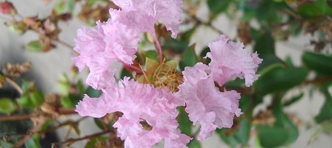Le lilas des indes inspirations desjardins - Le lilas des indes ...