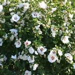 hibiscus_principale