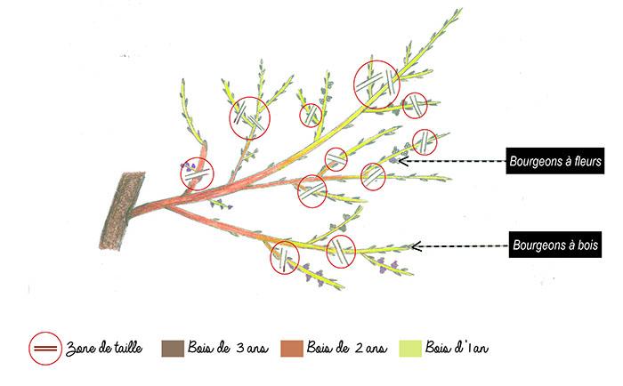 les arbres fruitiers les autres tailles inspirations desjardins. Black Bedroom Furniture Sets. Home Design Ideas