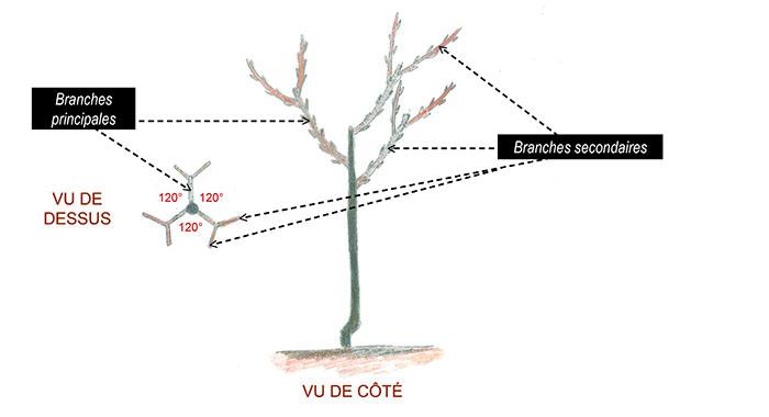 charpente d'un arbre